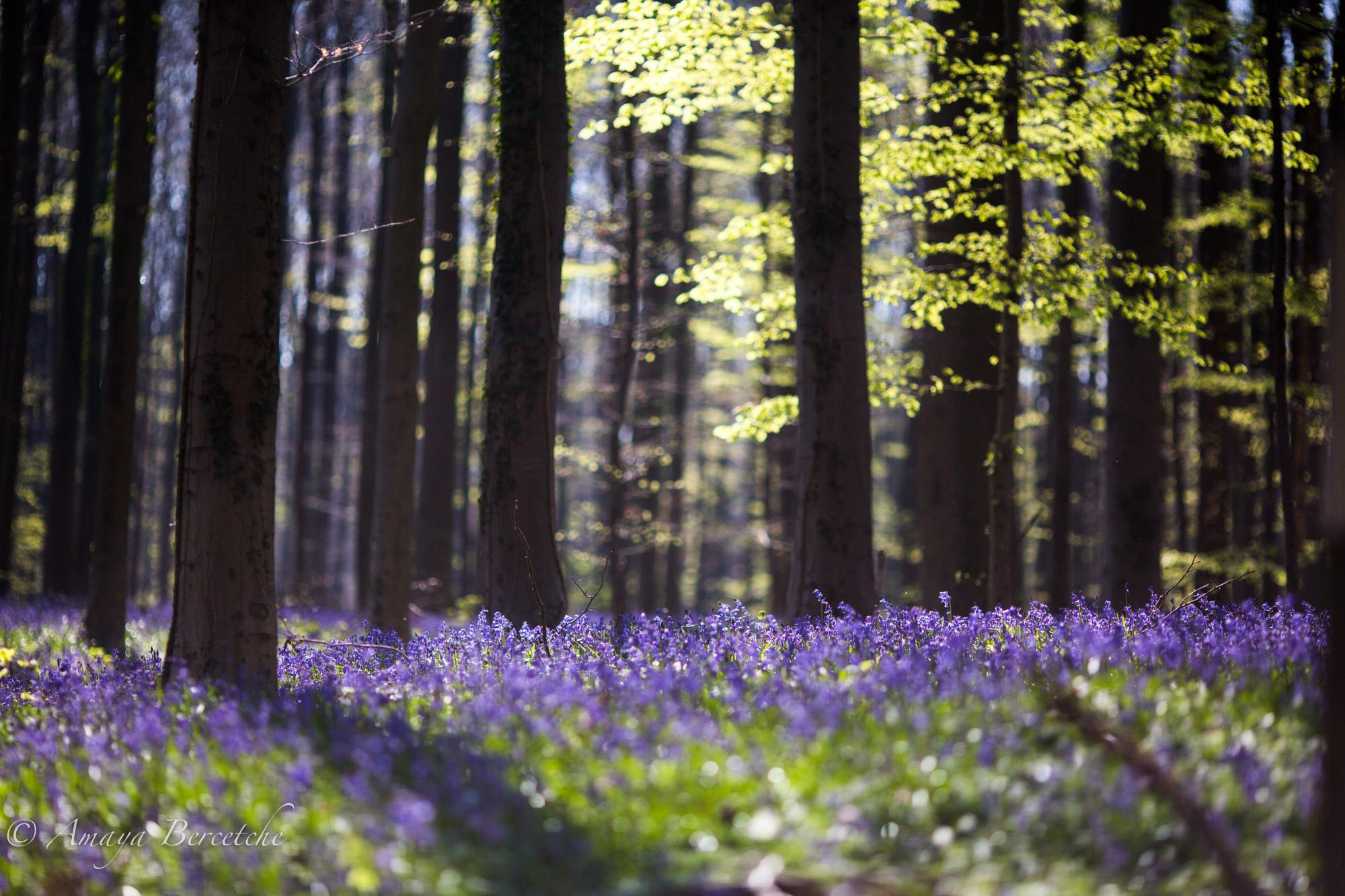 Le bois de Halle